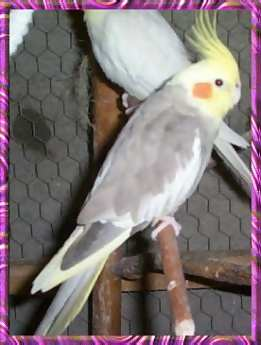 Female Cinnamon-Pied Cockatiel